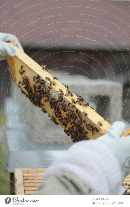 Bees Bee frame beekeeper Build Observe Looking Growth Exceptional Climate Beehive Bee-keeper Bee-keeping beeswax Honey-comb Colour photo Exterior shot Day