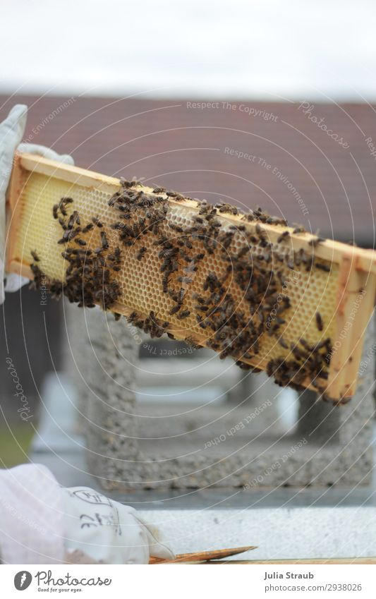 Bees Frames Wax Honeycombs Leisure and hobbies keep beekeepers Bee-keeper Work and employment Observe Crawl Small Yellow Gold Nature Honey bee beeswax Gloves