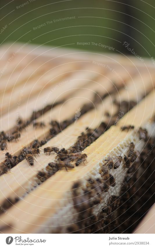 Beehive Honeycomb Wax Build Movement Feeding Crawl Discover Climate beeswax Honey-comb Wood Nature Colour photo Exterior shot Day