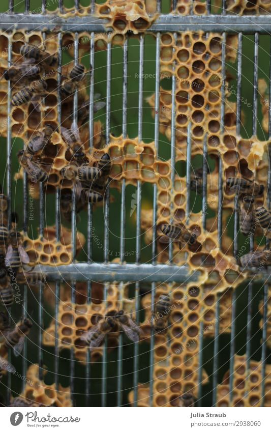 Queen barrier bee lattice Bee Flock Movement Flying Crawl Natural Wild Brown Yellow Nature Honey-comb Colour photo Exterior shot Day Central perspective