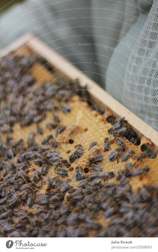 White egg cell Bees Wax Honeycombs Build Crawl queen bee white cell beeswax Honey-comb Colour photo Exterior shot Day