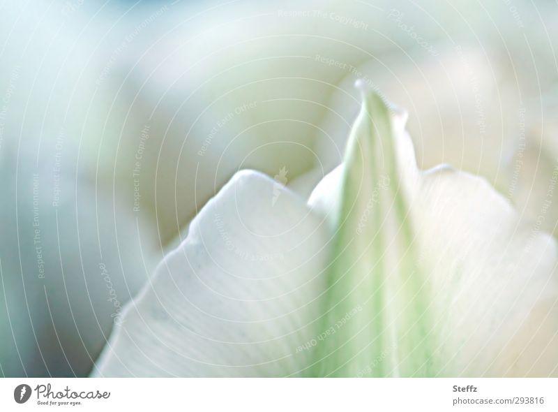 delicate tulip blossom Tulip flowering tulip Tulip blossom Picturesque romantic pastel shades Delicate Spring flower Romance Bright green Green White