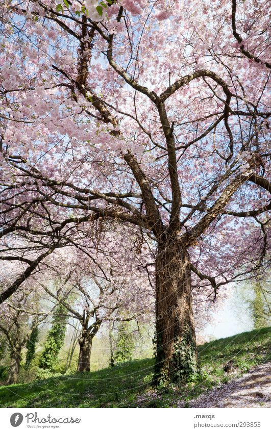 park Nature Landscape Spring Beautiful weather Plant Tree Cherry blossom Cherry tree Park Meadow Esthetic Fresh Bright Moody Spring fever Anticipation Life