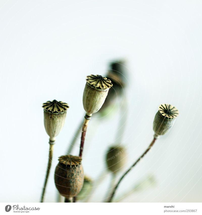 Nature Blue Green Plant Flower Poppy Poppy field Capsule Poppy capsule