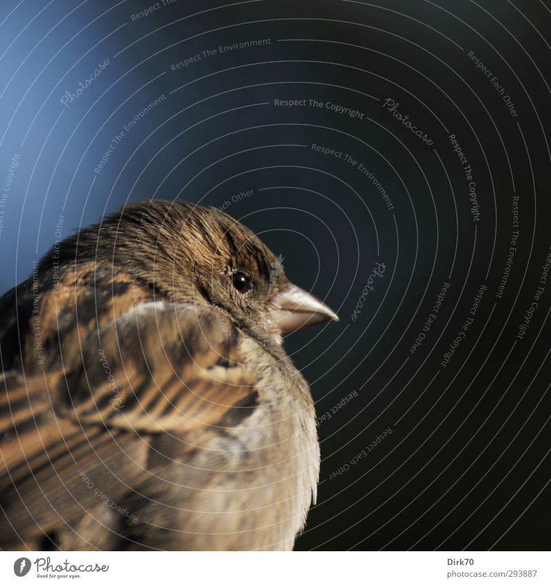 Shoulder look from the sparrow Animal Sunlight Winter Wild animal Bird Sparrow Passerine bird Songbirds Animal portrait 1 Observe Looking Brash Free Small