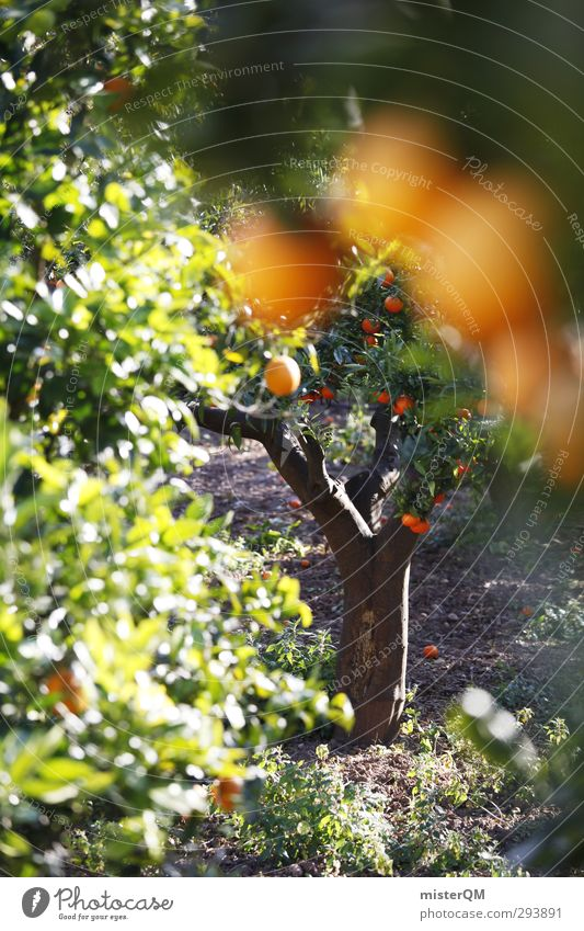 Nature Healthy Eating Art Contentment Orange Esthetic Spain Harvest Majorca Agriculture Holiday season Tropical fruits Perspective Orange juice Orange tree