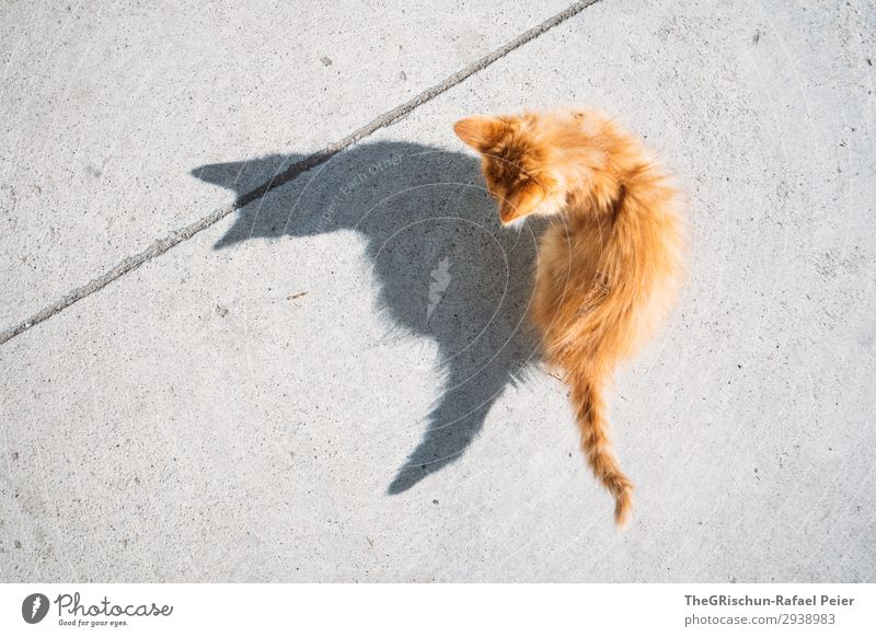 Büsi Animal Cat 1 Gray Orange Domestic cat Shadow Shadow play Contrast Concrete Bird's-eye view Ear Tails Playing Baby animal Silhouette Light Hairy