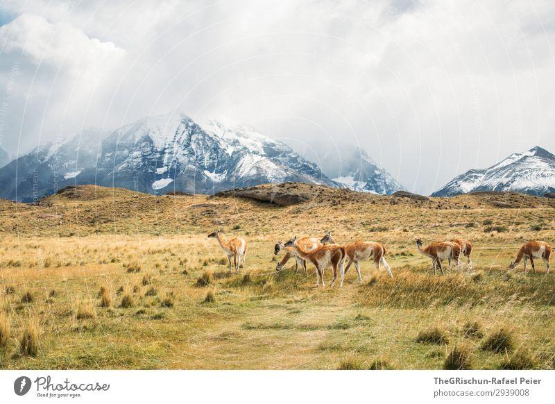 Guanaco Herd Animal Group of animals Brown Gray Black White Alpaca Llama guanaco Living thing Exterior shot Wild Steppe Mountain Hiking Patagonia Chile