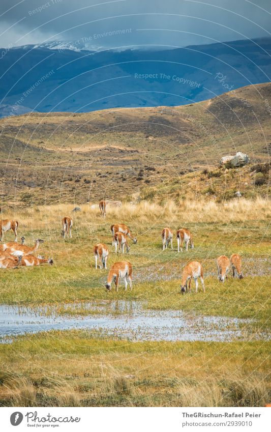 Guanaco Herd Animal Group of animals Blue Brown Green Patagonia Llama Alpaca Exterior shot To feed Drinking guanaco Stone Steppe Hill Mountain South America