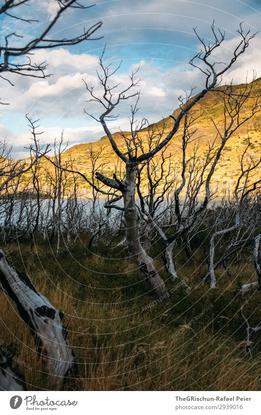 Patagonia Environment Nature Landscape Brown Yellow Gold White Death Tree Forest Forest fire Chile Torres del Paine NP Lake Sunlight Clouds Grass Colour photo