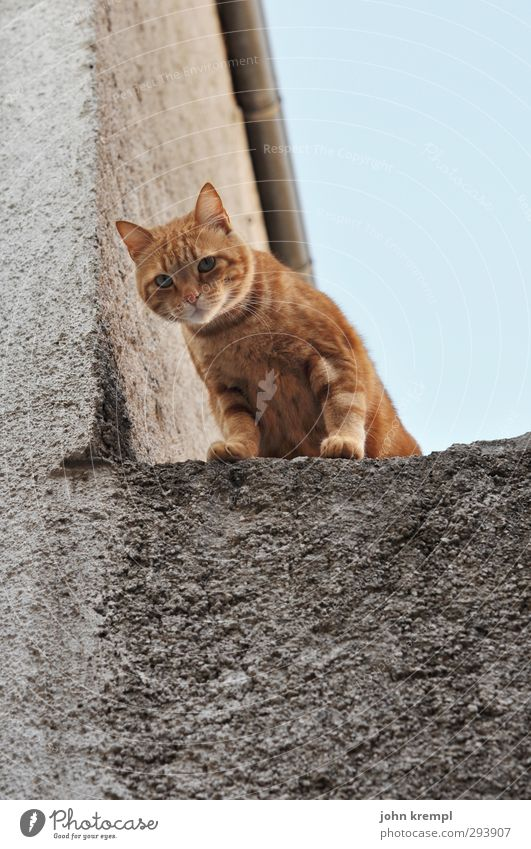 We don't buy anything Wall (barrier) Wall (building) Cat 1 Animal Observe Looking Stand Soft Orange Watchfulness Curiosity Climbing Paw Exterior shot Deserted