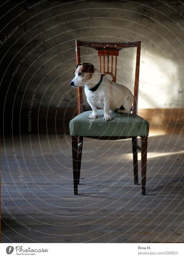dog's life Chair Attic Animal Pet Dog 1 Sit Wait Joy Love of animals Boredom Terrier Jack Russell terrier Colour photo Interior shot Deserted Copy Space left