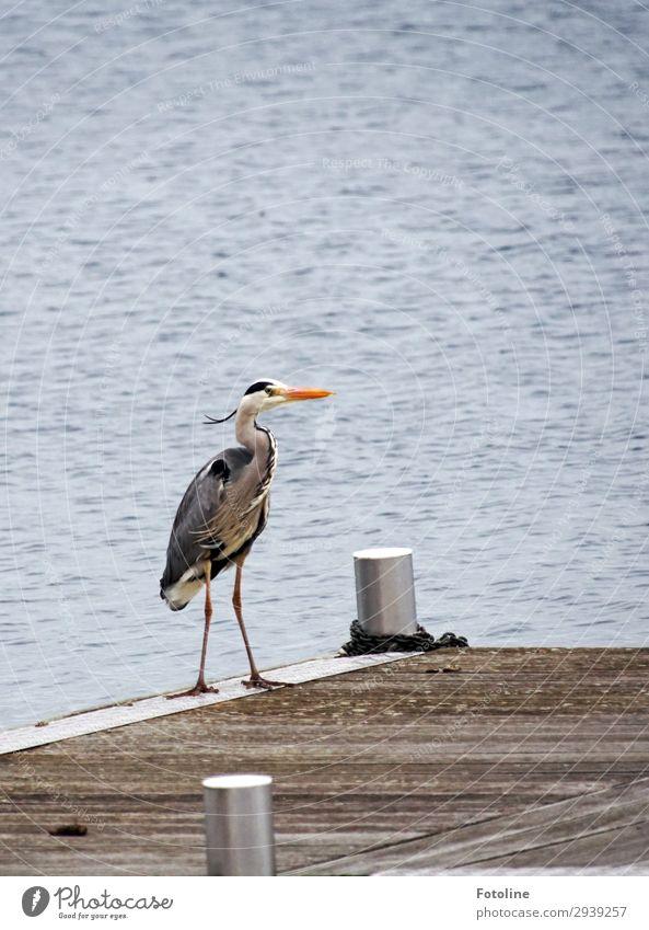 grey heron Environment Nature Animal Elements Water Spring Lake Wild animal Bird Wing Free Near Wet Natural Blue Gray Orange White Grey heron Feather Beak