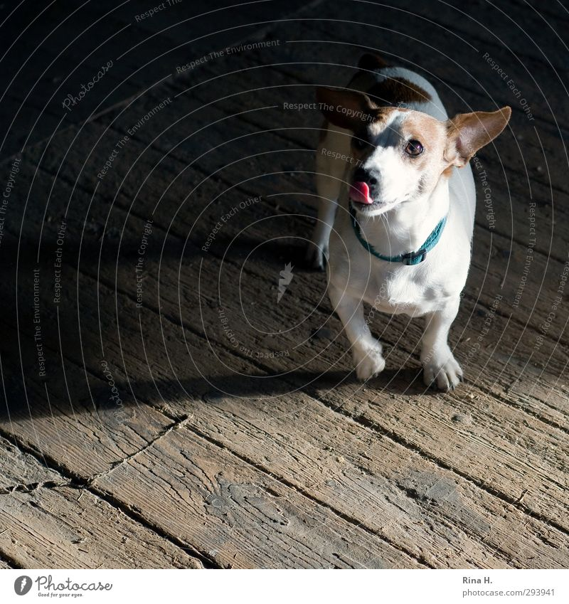 another one, please. Animal Dog 1 Feeding Authentic Friendliness Joy Happy Desire Beg well-behaved Obedient Terrier Jack Russell terrier Neckband Wooden floor
