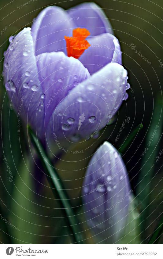 Nature Plant Flower Spring Blossom Rain Wet Beginning Drops of water Joie de vivre (Vitality) Blossoming Seasons Violet Dew Anticipation Blossom leave