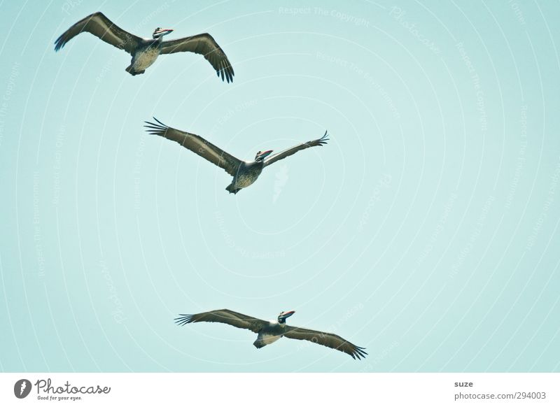 high achiever Exotic Summer Environment Nature Animal Elements Air Sky Cloudless sky Climate Beautiful weather Wild animal Bird 3 Flying Blue Pelican Light blue