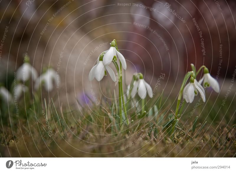 Nature Beautiful Plant Flower Environment Meadow Grass Spring Garden Natural Anticipation Spring fever Snowdrop