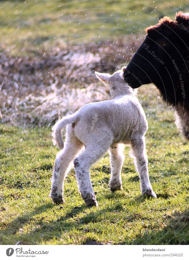 Nature Green White Plant Animal Black Meadow Baby animal Spring Natural Drops of water Cute Athletic Fat Sheep Meat