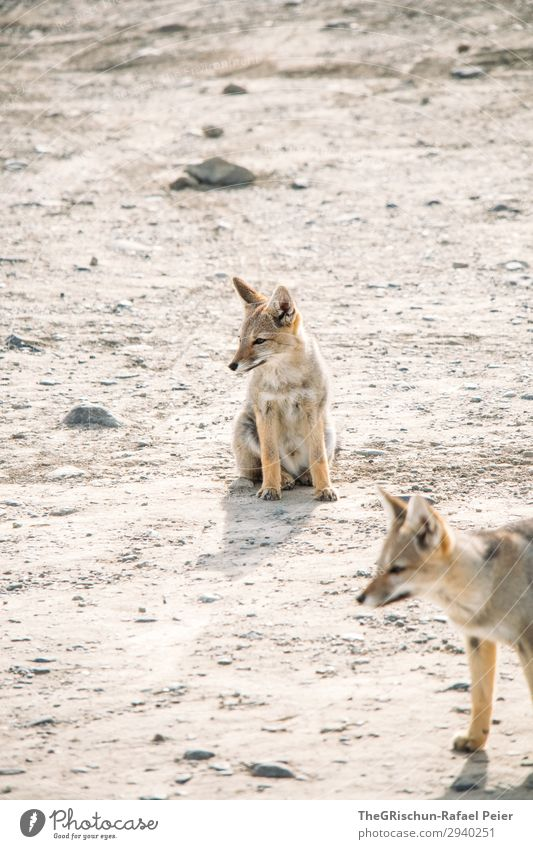 What does the fox say Animal 2 Brown Gray White Fox grey fox Patagonia Sit Play instinct Cute Small Wait Curiosity Stone Couple Colour photo Exterior shot