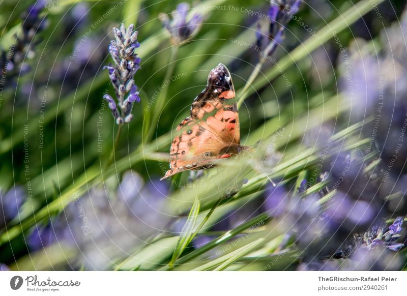 butterfly Animal 1 Blue Violet Butterfly Lavender Multicoloured Contrast Flower Fragrance Flying Free Easy Colour photo Exterior shot Deserted Copy Space left