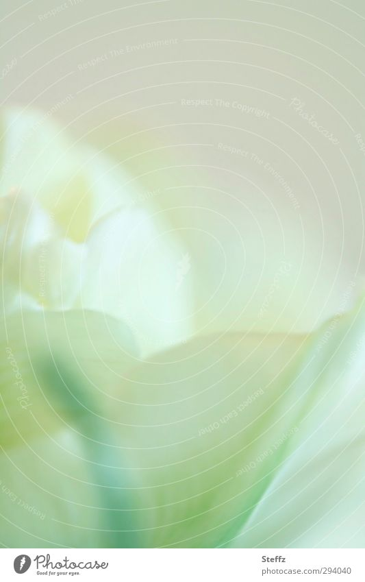 delicate tulip blossom Tulip gossamer Spring flower Tulip blossom flowering tulip Abstract Bright green pastel shades Poetic Romance Meaning Pastel tone