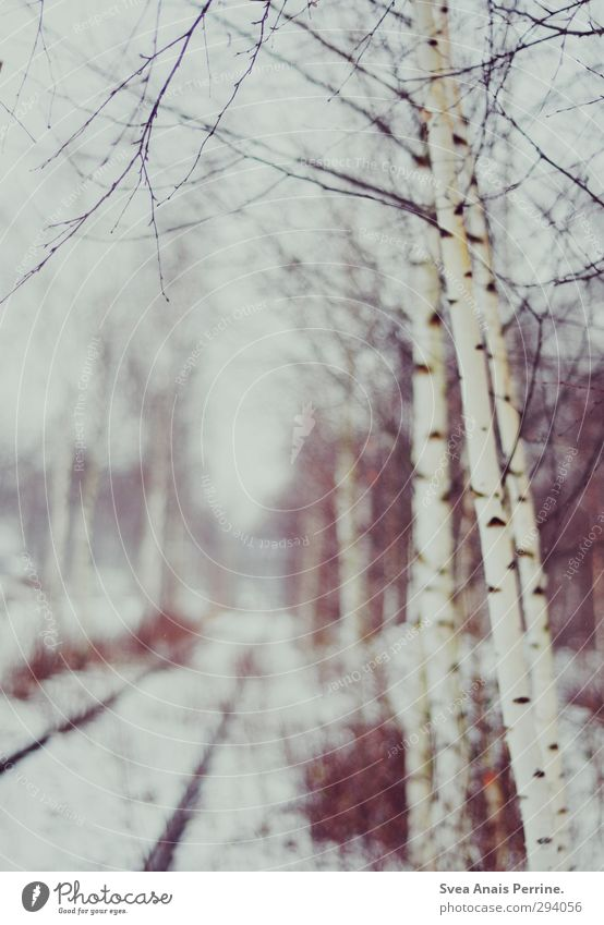 snow-white. Environment Nature Winter Tree Cold Birch tree Birch wood Railroad tracks Snowfall Landscape Twigs and branches Colour photo Subdued colour