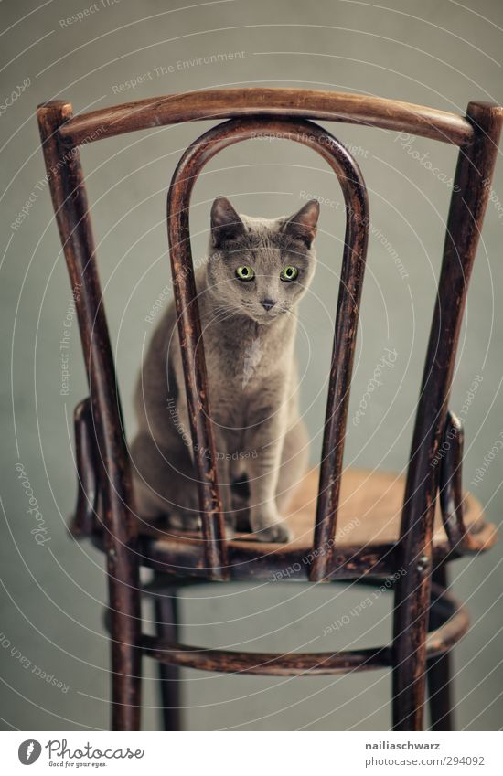 Bony Animal Pet Cat Animal face russian blue 1 Furniture Feces Ancient Wood Observe Discover Looking Sit Elegant Friendliness Happiness Cuddly Funny Natural
