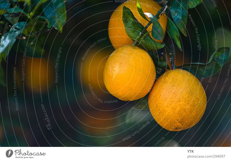 cellulite Food Fruit Orange Nutrition Organic produce Slow food Environment Nature Plant Beautiful weather Tree Leaf Blossom Foliage plant Agricultural crop