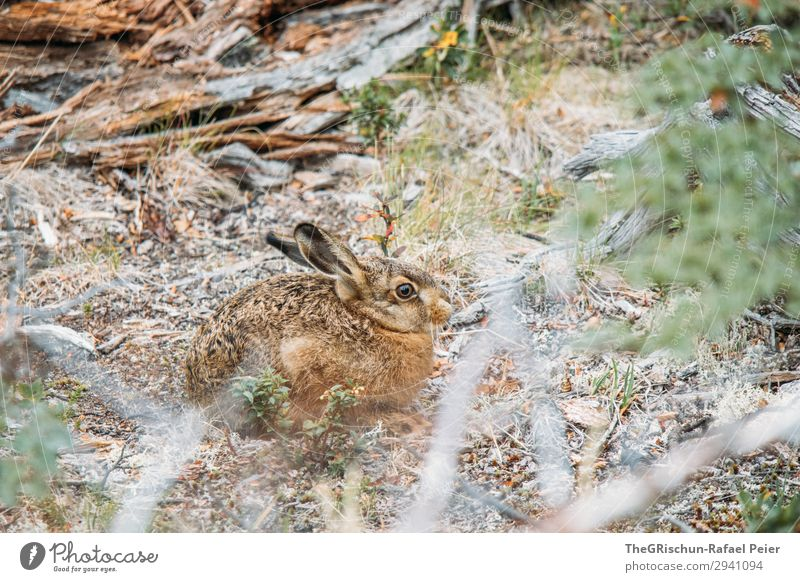 rabbit Animal 1 Brown Green Hare & Rabbit & Bunny Exterior shot Sit Listening Ready Hop Ear Pelt Cute Bushes Wood Colour photo Deserted Copy Space bottom Day