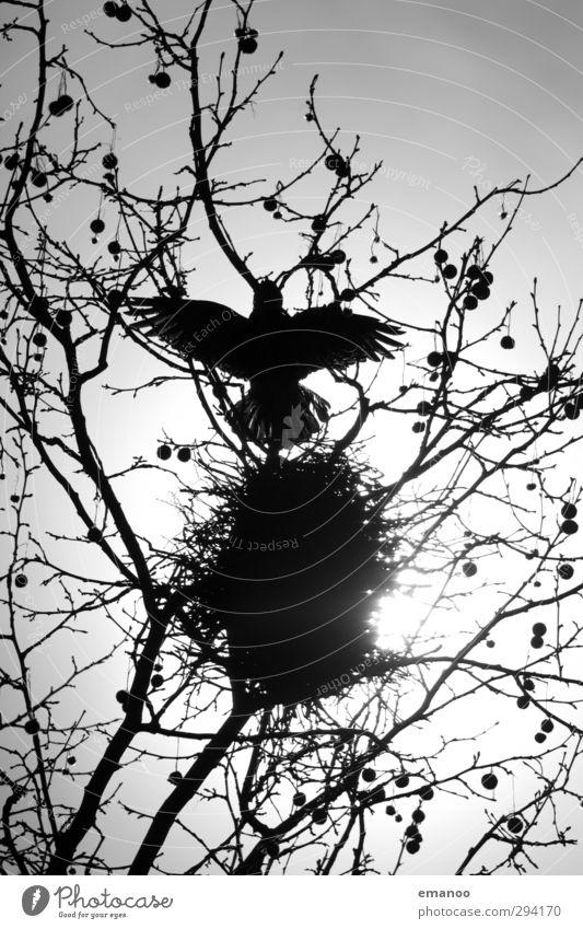 raven black Environment Nature Plant Animal Sky Sun Tree Bird Wing 1 Build Flying Threat Dark Smart Black Fear Death Crow Raven birds Carrion crow Nest