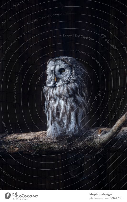Great Gray Owl on a tree trunk Park Animal Wild animal Great grey owl Sit codger species Strix aviary tree drink bird birds plumage feathers feather dress fly