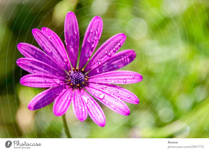 Nature Summer Plant Green Flower Natural Rain Fresh Drops of water Violet Pure Dew Marguerite Daisy Family Precipitation