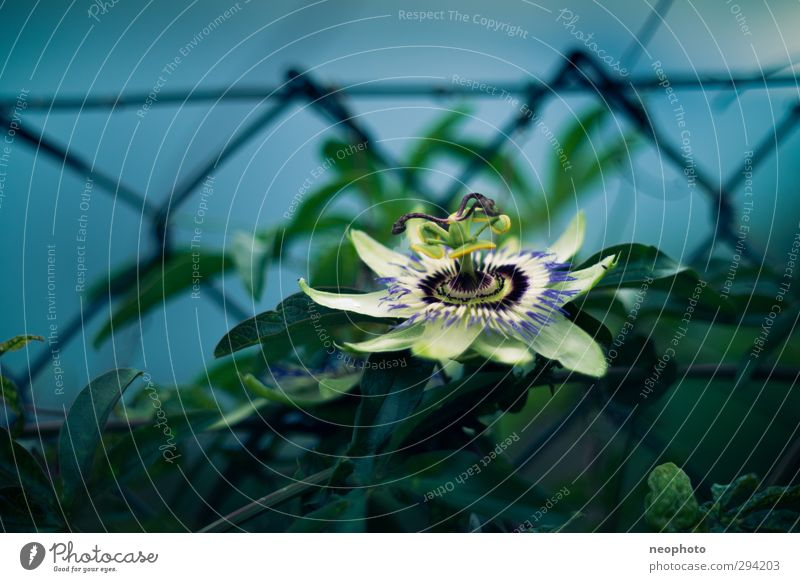 zaungast Plant Moon Summer Bushes Leaf Blossom Exotic Passion flower Garden Park Blue Green Beautiful Fence Wire netting fence Contrast Colour photo