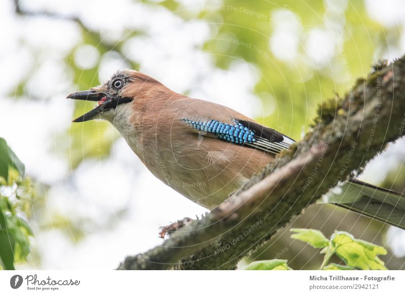 Gluttonous Jay Nature Animal Sky Sunlight Beautiful weather Tree Leaf Twigs and branches Wild animal Bird Animal face Wing Feather Plumed Beak Eyes 1 Observe