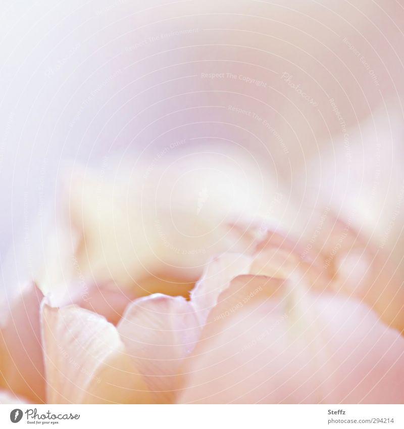 fine tulip blossom Tulip differently Tulip blossom flowering tulip Spring flower light pink pink flower pink blossom Soft Pink romantic Meaning Romance Idyll