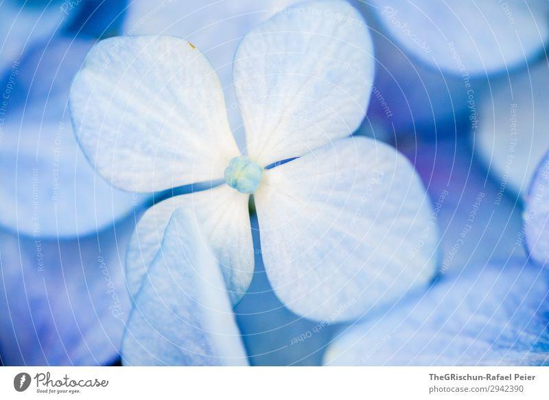 hydrangea Plant Blue White Violet Bluish Flower Detail Esthetic Color gradient Structures and shapes Hydrangea Colour photo Exterior shot
