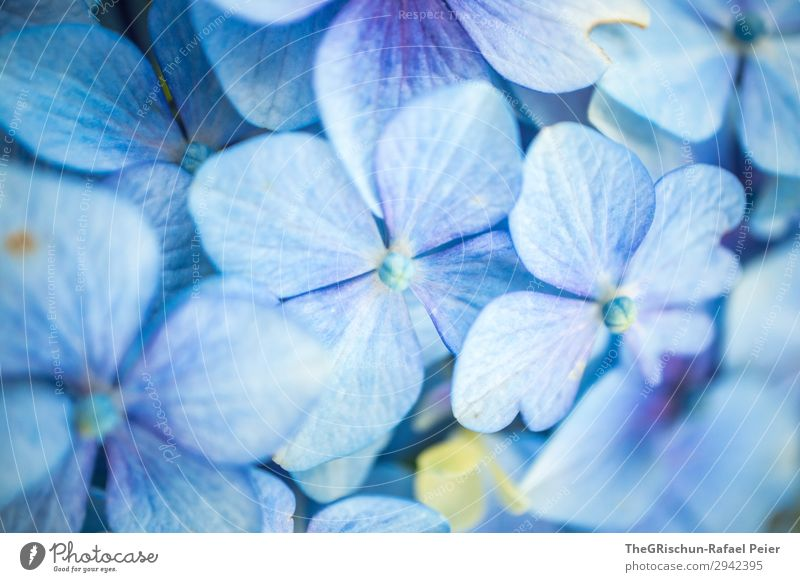 hydrangea Plant Blue White Hydrangea Blossom Flower Shallow depth of field Detail Macro (Extreme close-up) Structures and shapes Colour photo Exterior shot