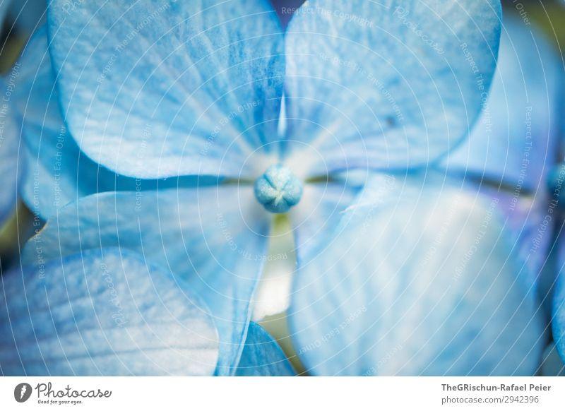 hydrangea Plant Blue White Hydrangea Blossom Flower Exterior shot Nature Structures and shapes Color gradient Colour photo Detail Macro (Extreme close-up)