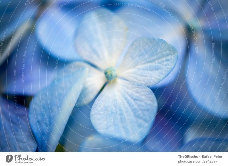 hydrangea Plant Blue White Violet Bluish Structures and shapes Blossom Flower Hydrangea 4 Shallow depth of field Colour photo Close-up Detail Deserted