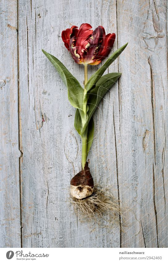 tulip Snowboard Environment Nature Plant Spring Flower Tulip Agricultural crop Onion Wood Blossoming Fragrance Growth Natural Beautiful Gray Green Red Peaceful