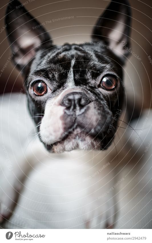 Boston Terrier Portrait Animal Pet Dog Animal face 1 Observe Looking Brash Friendliness Happiness Beautiful Funny Curiosity Cute Black White Emotions Moody