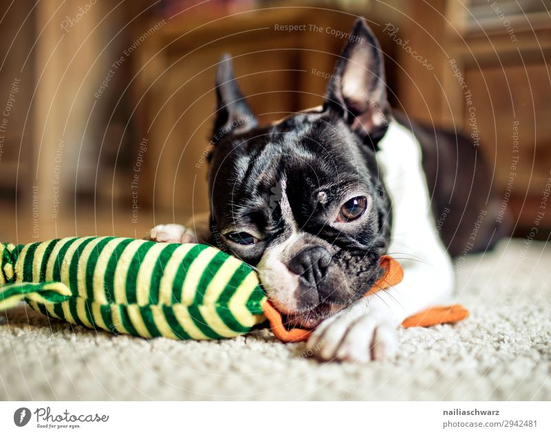 Dog Animal Calm Joy Lifestyle Happy Playing Living or residing Flat (apartment) Contentment Lie Joie de vivre (Vitality) To enjoy Observe To hold on Pet