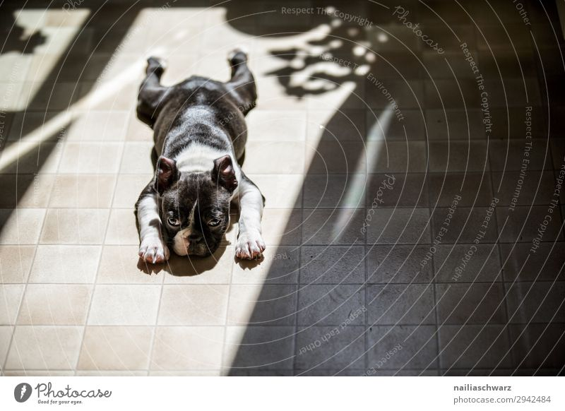 relaxation Lifestyle Living or residing Kitchen Animal Dog Puppy French Bulldog 1 Baby animal Floor covering Shadow Observe Relaxation Lie Sleep Small Funny