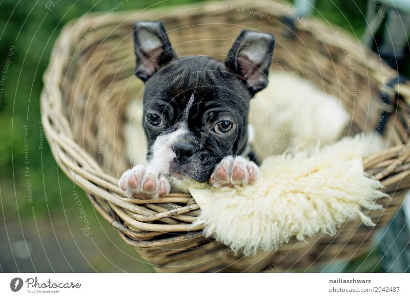 Boston Terrier Puppy boston terrier puppy female whelp small young cute sweet Lifestyle Relaxation Trip Bicycle Cycling Pet Dog Animal face French Bulldog