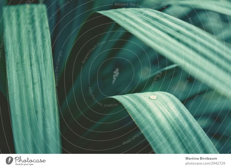 Yucca leaves with water drops, abstract floral vegetal backdrop Summer Nature Plant Jump greenhouse leaf effect natural fresh Planning growth wet Leaf green