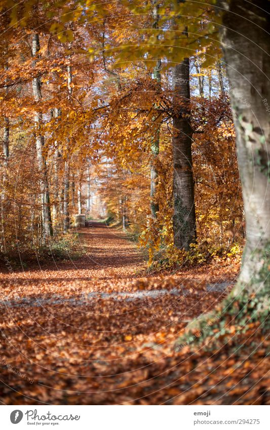 Snow: gone Environment Nature Autumn Beautiful weather Tree Forest Natural Orange Leaf Deciduous tree Deciduous forest Colour photo Exterior shot Deserted Day