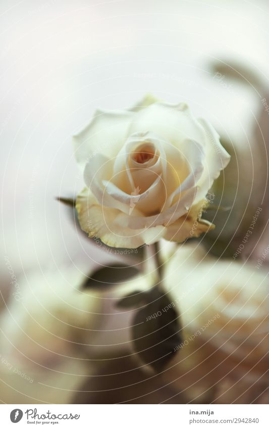 White Beauty Environment Nature Plant Spring Summer Flower Rose Leaf Blossom Sign Blossoming Esthetic Fragrance Elegant Freedom Peace Hope Love Love affair