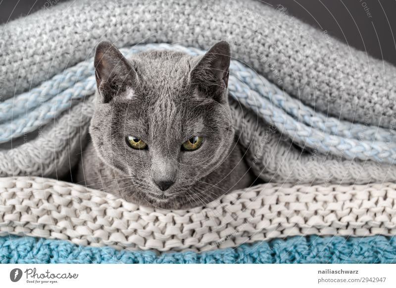 Russian Blue Cat Elegant Relaxation Living or residing Flat (apartment) Animal Pet Animal face russian blue 1 Ceiling Rope Observe Communicate Lie Looking Wait