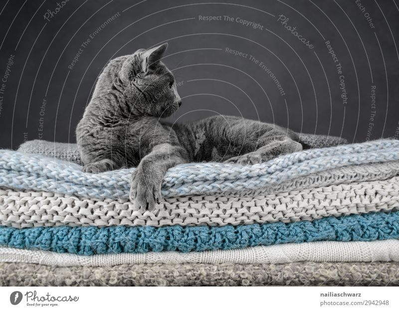 Russian Blue Cat Elegant Relaxation Animal Pet british shorthair cat 1 Blanket knitted blanket Observe Crouch Lie Dream Brash Cuddly Natural Curiosity Cute