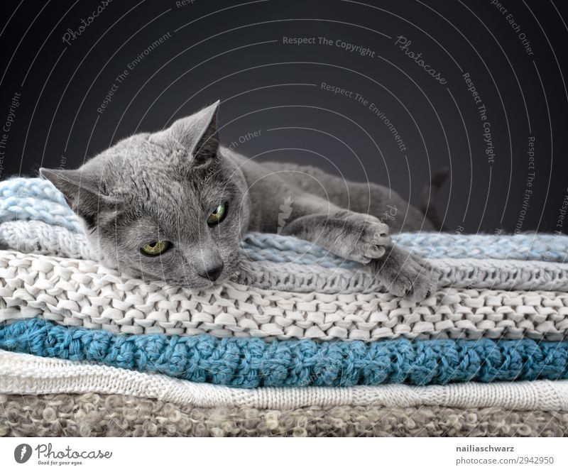Russian Blue Cat Elegant Style Relaxation Knit Living or residing Flat (apartment) Animal Pet Animal face Paw russian blue 1 Blanket knitted blanket Observe